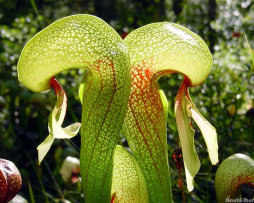 cobra-lily-the-meat-eating-plant-that-looks-like-a-snake-1