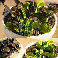 گیاه گوشت خوار ونوس (Venus) - دنیای گیاهان گوشت خوار