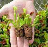 گیاه گوشتخوار ونوس (Venus) - دنیای گیاهان گوشت خوار