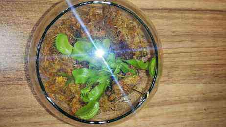 ونوس حشره خوار 6 ماهه - دنیای گیاهان گوشت خوار