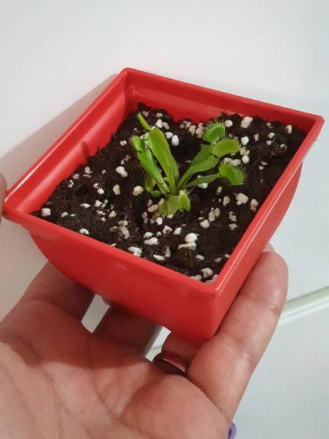 گیاه ونوس حشره خوار (4.5 ماهه)