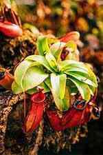 گل نپنتس حشره خوار (nepenthes) - دنیای گیاهان گوشتخوار