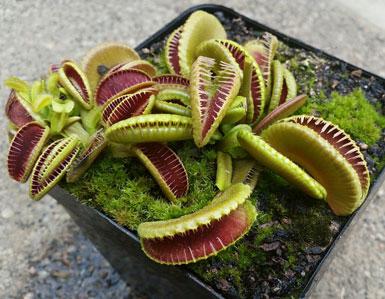 بذر ونوس Jaws - دنیای گیاهان گوشتخوار