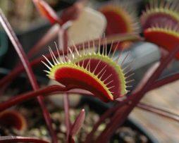 بذر ونوس Royal - دنیای گیاهان گوشتخوار