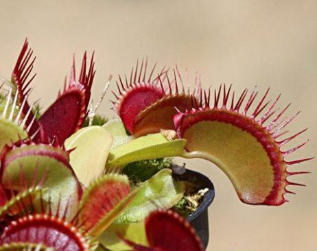 ونوس حشره خوار Bimbo - دنیای گیاهان گوشتخوار