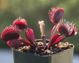 بذر ونوس Red Dragon - دنیای گیاهان گوشتخوار