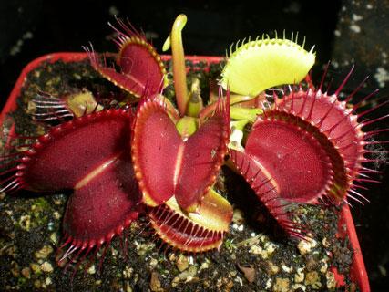 بذر ونوس حشره خوار B52 - دنیای گیاهان گوشتخوار