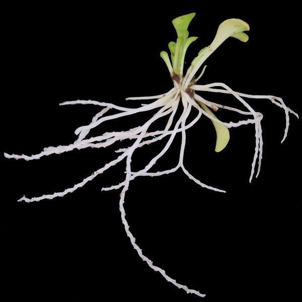گیاه حشره خوار گلدان خرچنگ