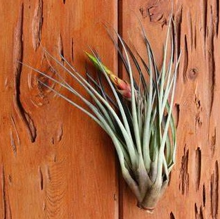گیاه هوازی تیلاندسیا فاسکیکولاتا - دنیای گیاهان گوشتخوار