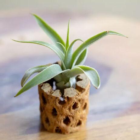 گیاه هوازی تیلاندسیا کاکتیکولا - دنیای گیاهان گوشتخوار